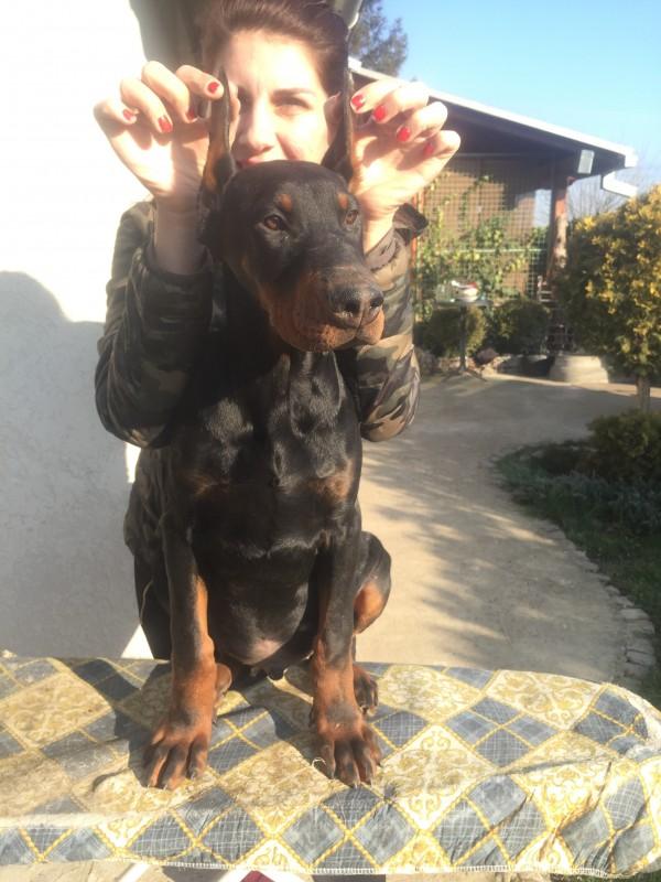 Bandit Di Bestanera- Dobermann Welpen kupiert